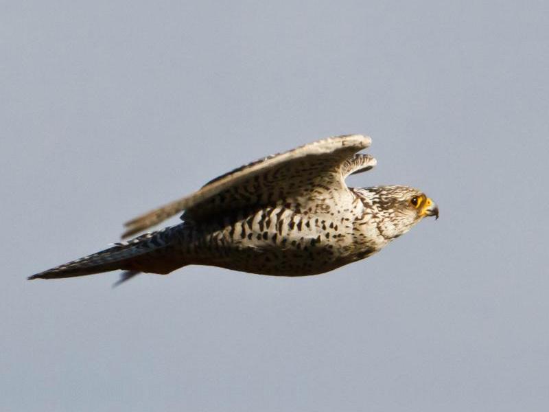 Top 5 Aves Más Rápidas Del Mundo