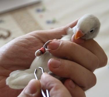 Cómo quitar una pluma a un Agapornis