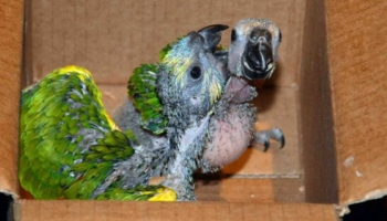 Psittacosis in Parrots