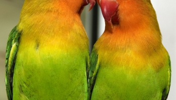 10 TIPS TO KNOW TO HELP YOU TO BUY A LOVEBIRD