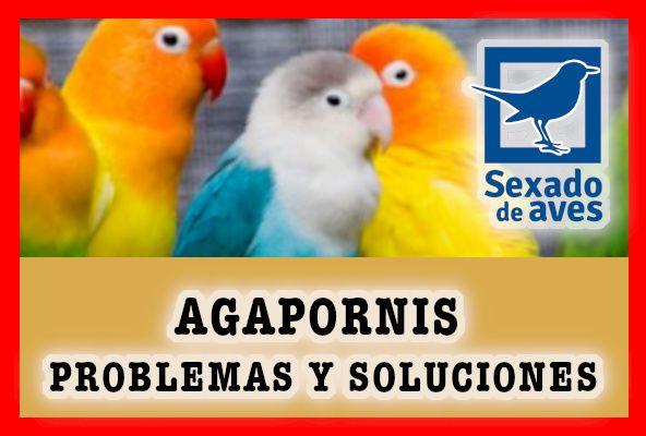 agapornis problemas y soluciones