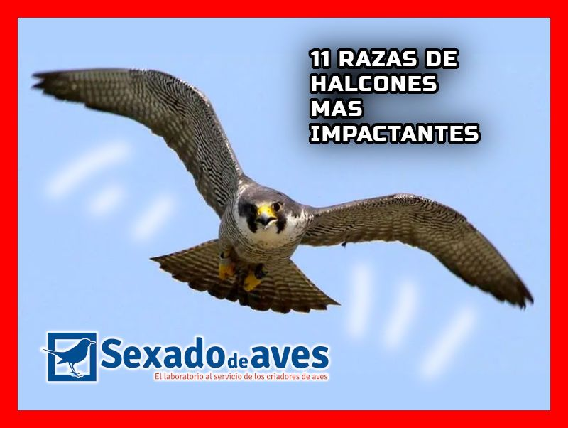 HALCONES IMPACTANTES