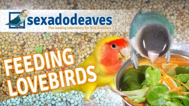 Feeding Lovebirds