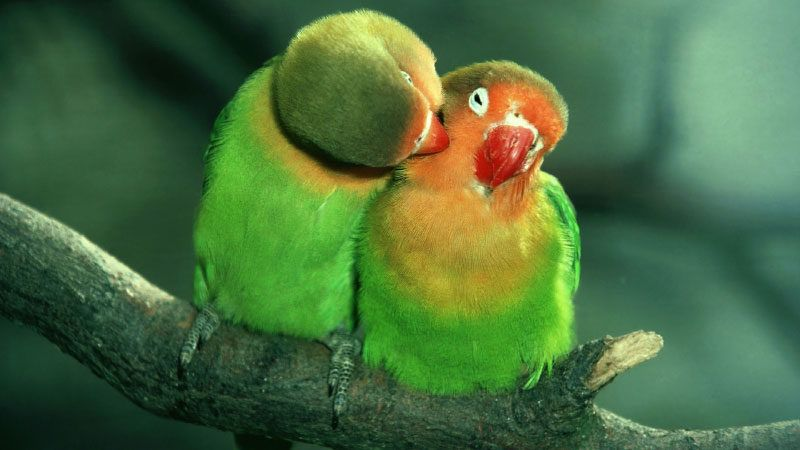 male or female Lovebird