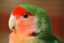 Agapornis Roseicollis principal