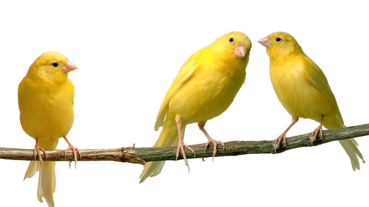 races de canaris