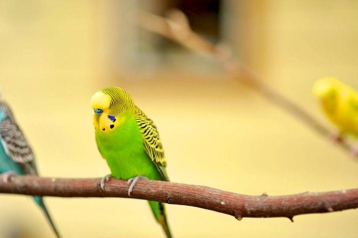 Beneficios de tener un ave como mascota