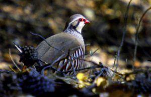 Perdiz griega (Alectoris graeca) Aves en Europa