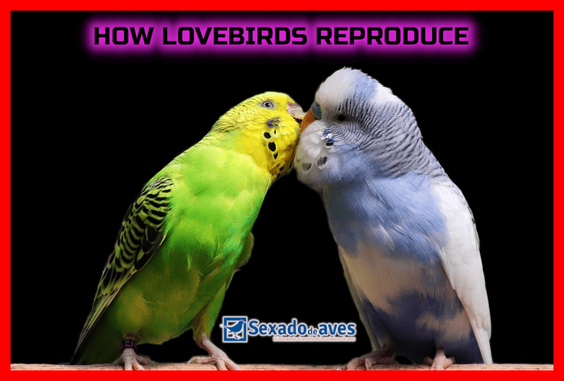 HOW LOVEBIRDS REPRODUCE