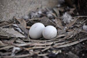huevos de palomas