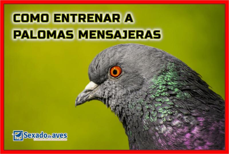 COMO ENTRENAR PALOMAS MENSAJERAS