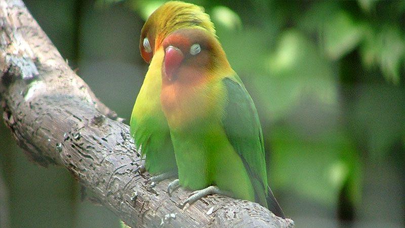 كيف تعرف إذا كان لديك ذكر أو أنثى طائر حب