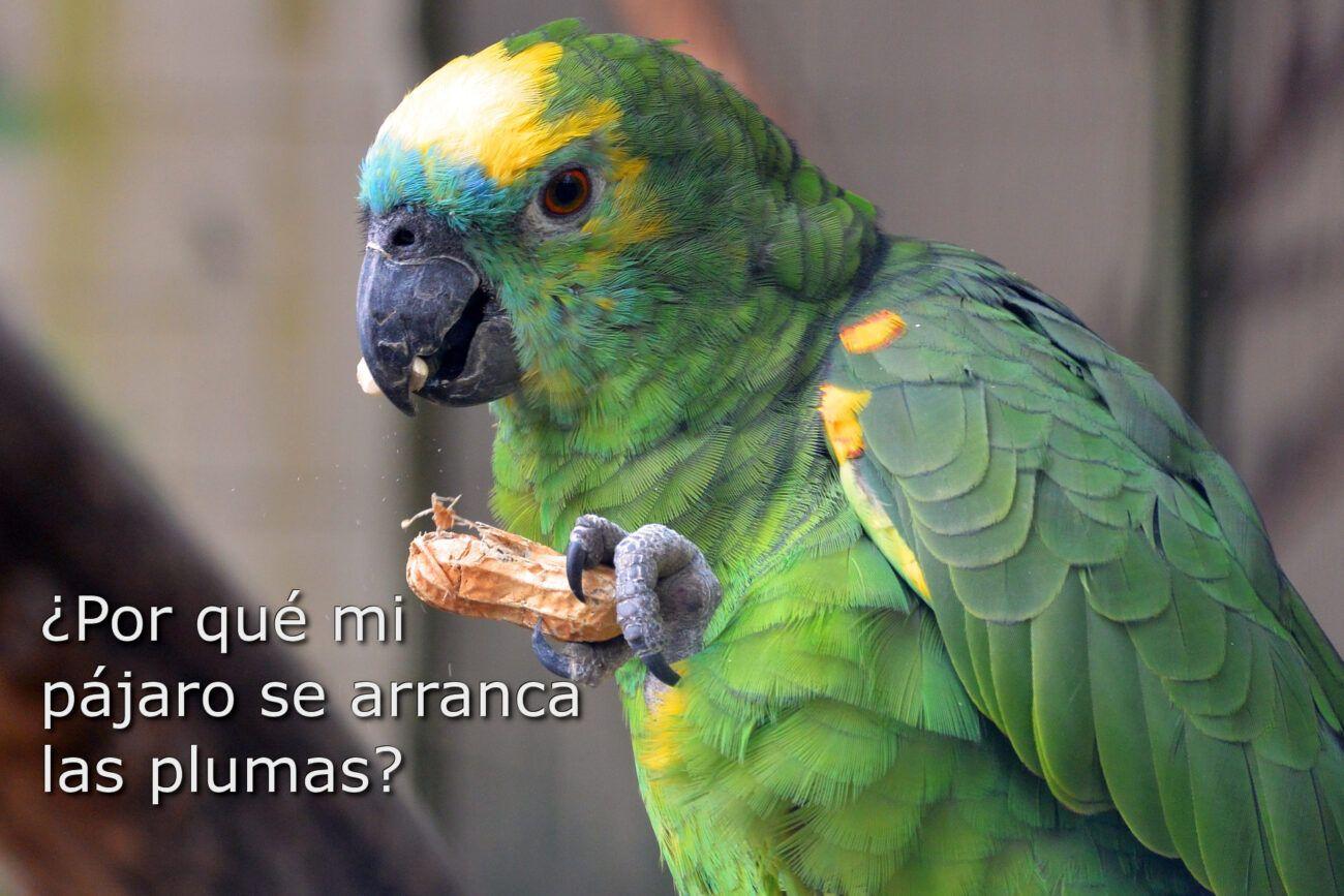 parrot-picaje