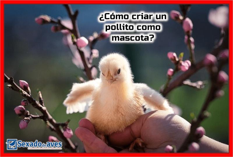 Como crear un Pollito como Mascota